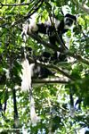 Eastern Black & White Colobus Monkeys (Colobus guereza)