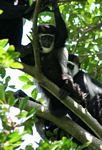 Eastern Black and White Colobus Monkeys (Colobus guereza) in the canopy