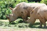 Pair of Rhinoceros in captivity