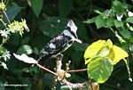 Pied Kingfisher, Ceryle rudis, with a fish in its mouth