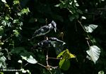 Pair of Pied Kingfishers, Ceryle rudis, arguing over a fish