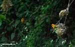 Pair of Ploceus aurantius weaver birds nesting