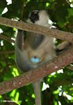 Adult male vervet monkey (Cercopithecus aethiops) in a tree