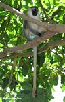 Male vervet monkey (Cercopithecus aethiops) in a tree
