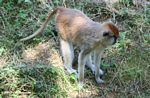Patas Monkey (Erythrocebus patas) in captivity
