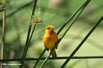 Male orange weaver bird