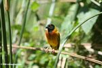 Male yellow-backed weaver (Ploceus melanocephalus)
