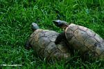 Friendly tortoises