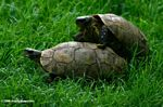 Tortoises caught in the act of mating