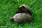 Tortoises mating on a lawn