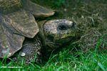Ancient Leopard Tortoise (Geochelone pardalis)