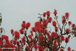 Bright red flowers of the Abyssinian Erythrina or Coral Tree (Erythrina abyssinica)