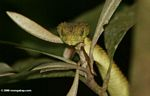 Green bush viper in Kibale Forest