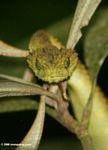 Víbora verde de arbusto (Atheris species)