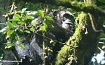 Chimpanzee feeding in a canopy tree