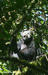 Chimpanzee (Pan troglodytes) in canopy