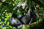 Chimpanzee (Pan troglodytes) feeding on canopy fruit
