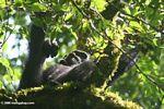 Wild chimpanzee (Pan troglodytes) in Kanyanchu forest