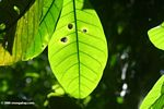 Rainforest tree leaf
