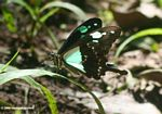 Aqua and black butterfly on blade of grass