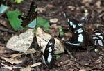 Butterflies feeding on dung on the forest floor