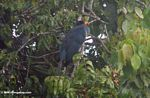 Great blue turaco (Corythaeola cristata) in a tree