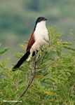 Blue-headed coucal, Centropus monachus