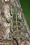 Blue-headed Tree Agama (Acanthocerus atricollis) on a tree trunk