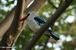 Woodland kingfisher (Halcyon senegalensis) perched on a branch