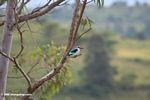 Woodland kingfisher with Rwenzori mountains behind
