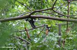Red-tailed monkey (Cercopithecus ascanius) with red tail visible