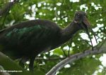 Hadada ibis getting fiesty in a tree