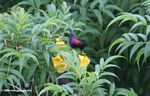 Male copper sunbird (Cinnyris cuprea) feeding on yellow flower