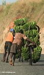 Men pushing bicycles laden with bananas