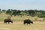 African buffalo (Syncerus caffer), egrets, and Uganda kob on the savanna