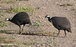 Pair of Helmeted guinea fowl walking on a dirt road