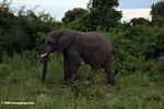 Male elephant in the bush