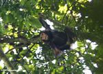 Wild chimpanzee in the canopy