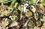Black and yellow butterflies feeding on minerals in elephant dung