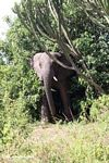 African elephant emerging from a bush
