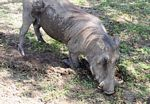 Warthog feeding on grass
