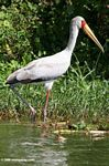 Yellow-billed Stork, Mycteria ibis