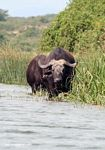 Cape buffalo in the Kazinga Channel