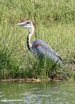 Goliath heron, Ardea goliath, along the Kazinga Channel