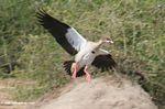 Egyptian Goose, Alopochen aegyptiacus, in flight