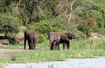 Elephants at water's edge