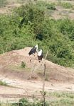 Pair of African fish eagles