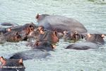 Group of hippos in the Kazinga Channel