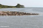 Hundreds of cormorants and pelicans gathered on a sanbar