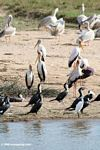 Great cormorants, Pink-backed pelicans, Great white pelicans, Little egret, yellow-billed storks
